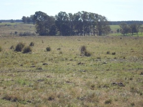 Very good cattle field for sale, on National Route 23, 28 miles from Nueva Helvecia and 9 from Cardona, Uruguay